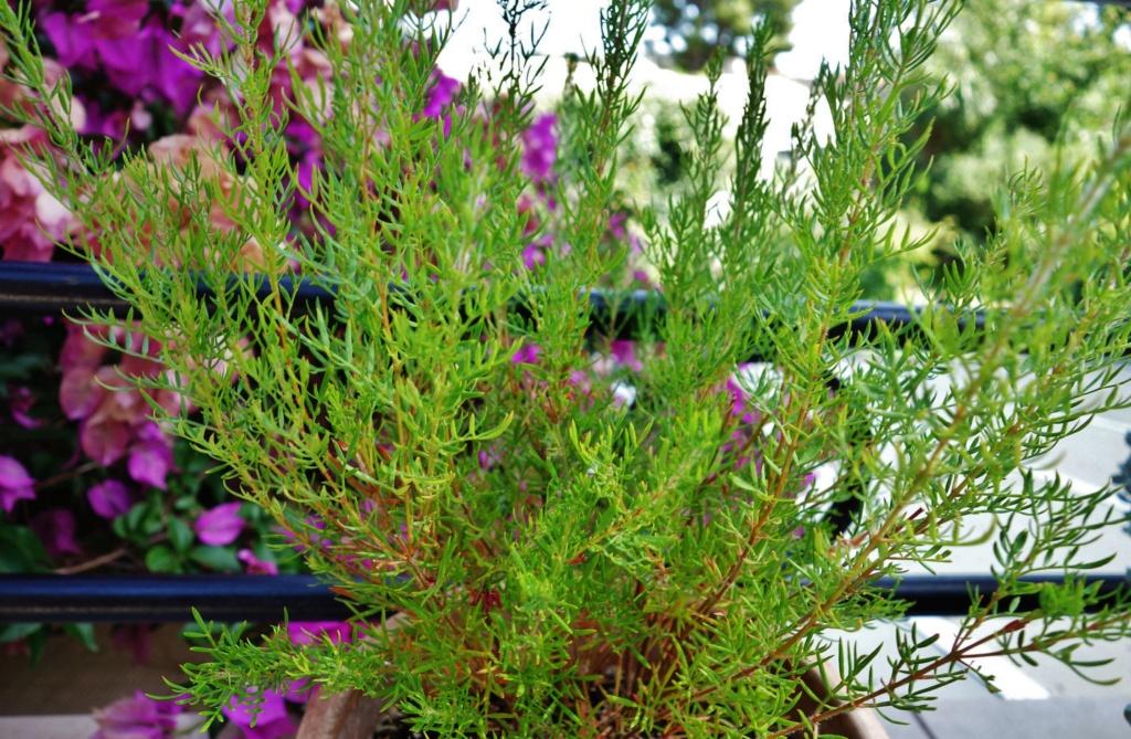 Boronia heterophylla - Devinette d'une plante dont on n'a jamais parlé ici Dsc07652