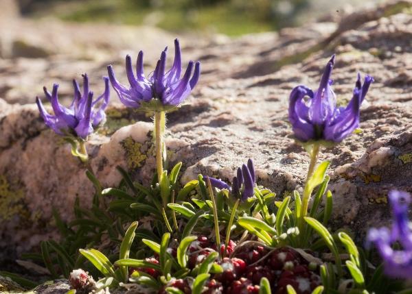 Phyteuma globulariifolium subsp. pedemontanum Dsc07656