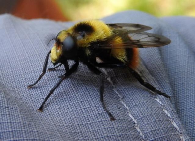 Une mouche qui se fait passer pour une abeille Dscn1710