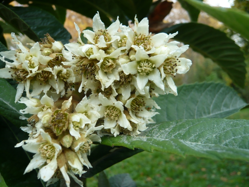 Eriobotrya japonica - bibacier, néflier du Japon - Page 5 Feuill10