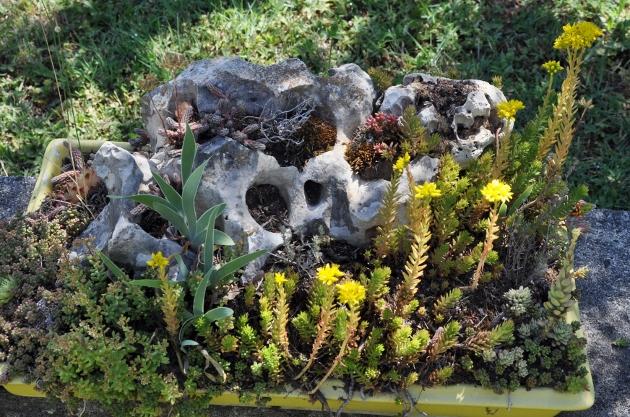 Petrosedum sediforme, P. ochroleucum, P. rupestre [différenciation] Fin_ju12