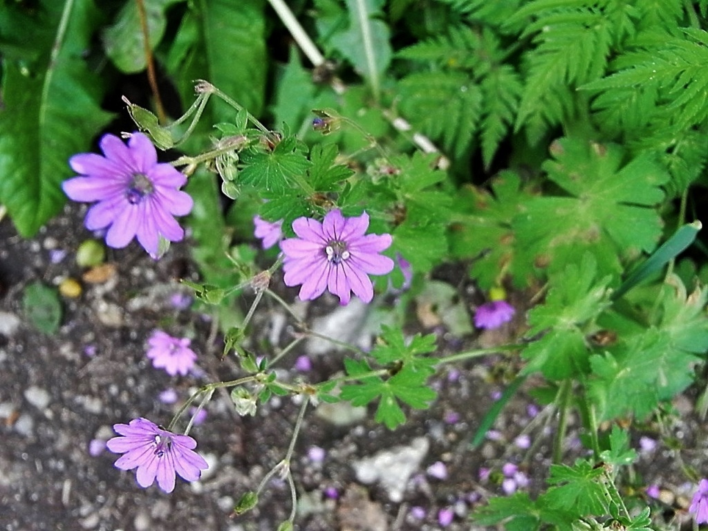 Geranium molle - [identification] Flore_20