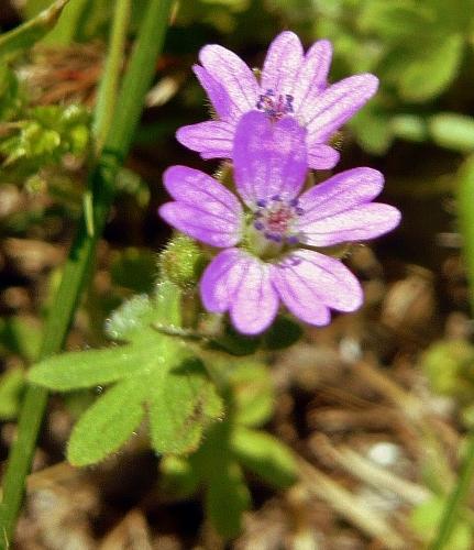 Geranium molle - [identification] Gerani12