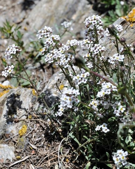 Lobularia maritima - Alysson maritime Globul11