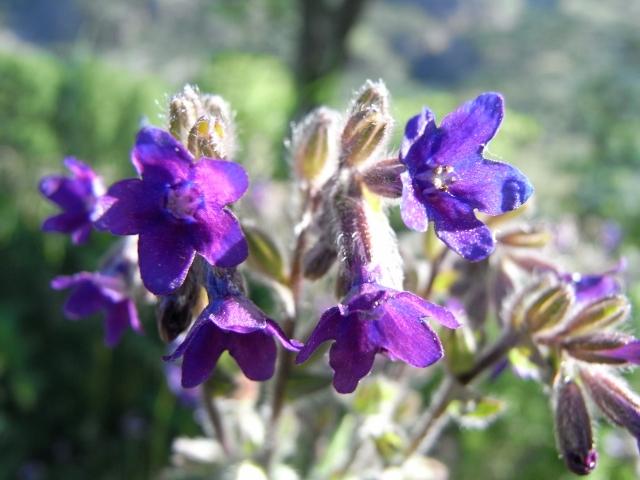 anchusa - Anchusa italica - buglosse d'Italie Grzomi10