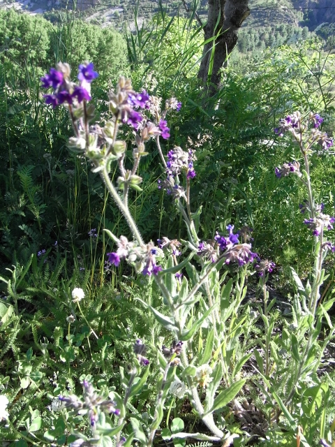 anchusa - Anchusa italica - buglosse d'Italie Grzomi12