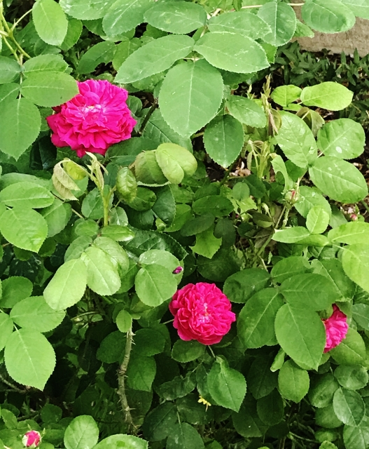 rosier 'Rose de Rescht' Img_5516
