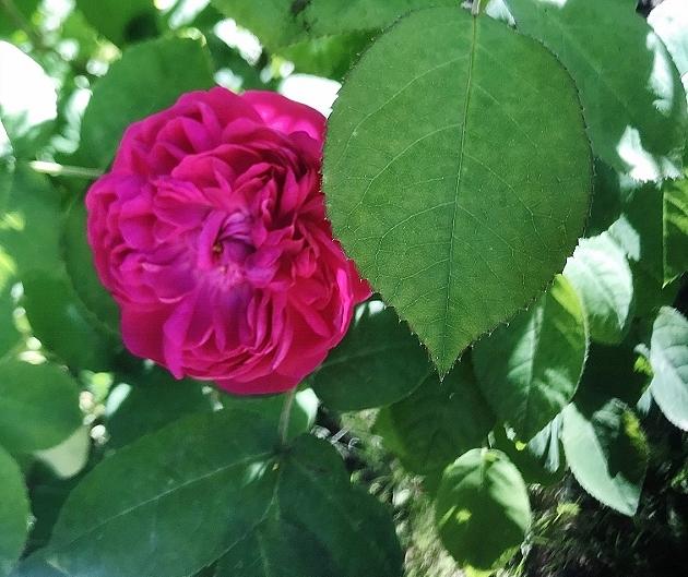 rosier 'Rose de Rescht' Img_5518