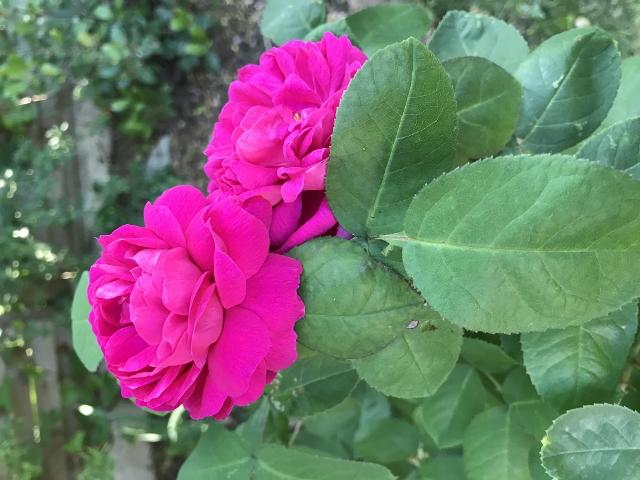 rosier 'Rose de Rescht' Img_5915