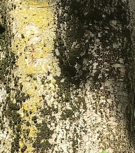 [Celtis occidentalis - Micocoulier] Devinette tronc trouvée Img_6110