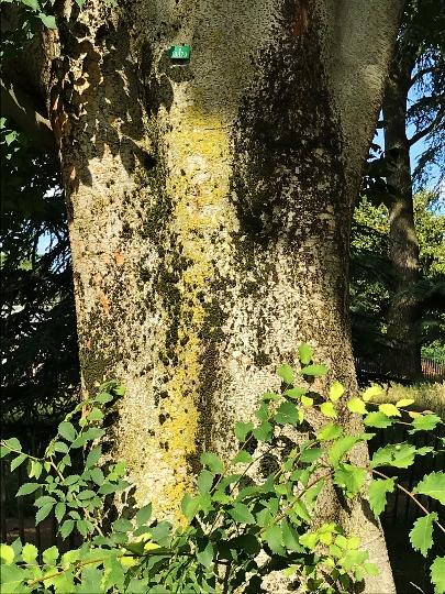 [Celtis occidentalis - Micocoulier] Devinette tronc trouvée Img_6111