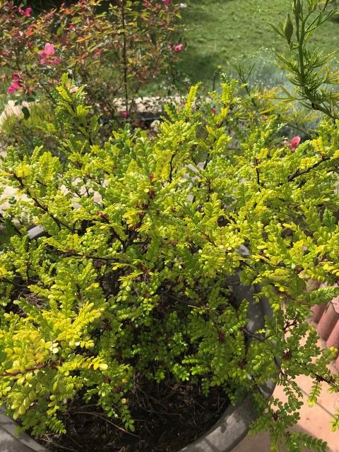 Zanthoxylum beecheyanum - faux poivrier du Sichouan - Page 2 Img_9510