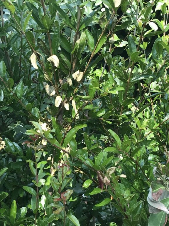 Mort subite d'arbustes sans raison identifiée Img_9810