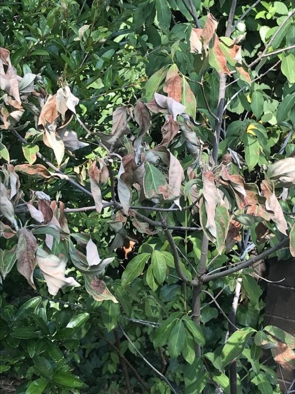Mort subite d'arbustes sans raison identifiée Img_9811