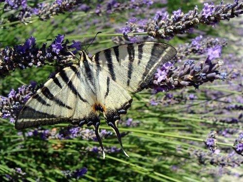 fil(et) à papillons - Page 18 Insect13
