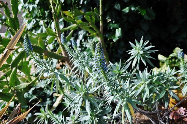 Echium candicans - vipérine de Madère Jardin11