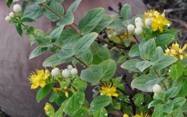 Hypericum x inodorum 'Magical Beauty' -  Millepertuis inodore Jardin24