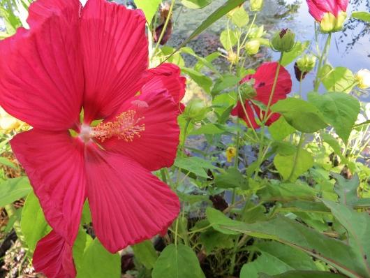 Hibiscus coccineus - Page 2 Juille11