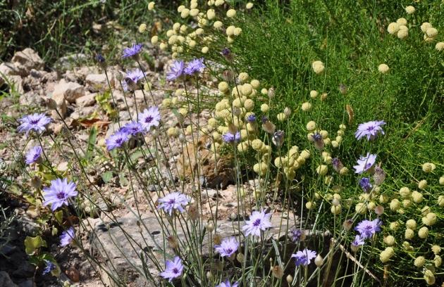 Catananche caerulea - catananche bleue  Juin_210