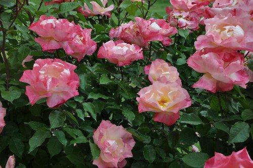 tous ces rosiers que l'on aime - floraisons - Page 7 Juin_216