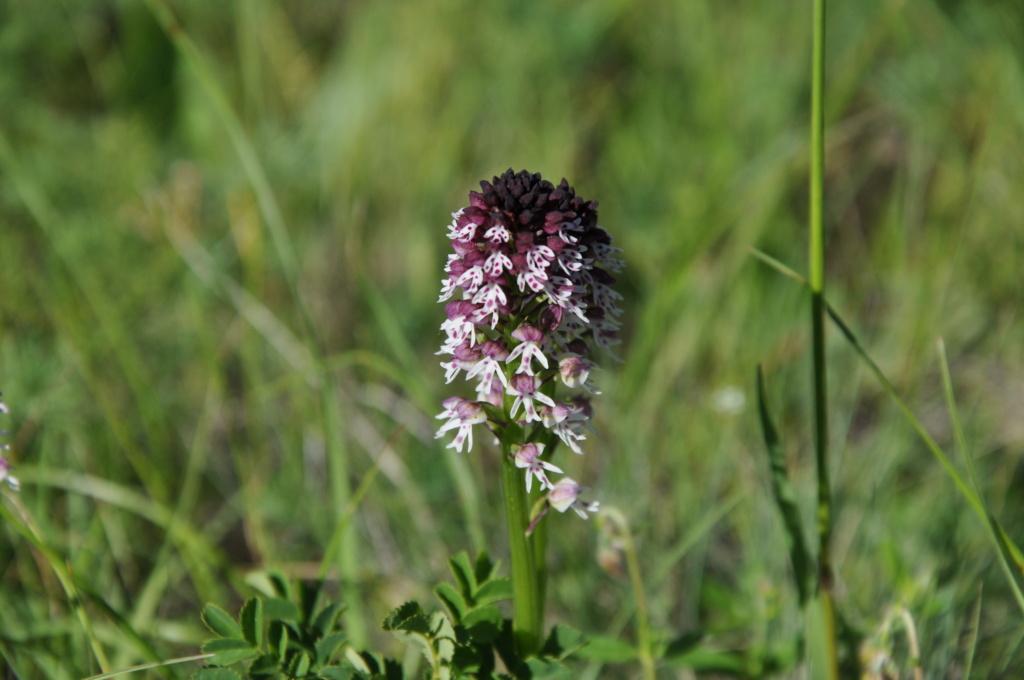 Neotinea ustulata - orchis brûlé Juin_233