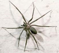 les 8 pattes - araignées et compagnie - Page 25 Loxosc10