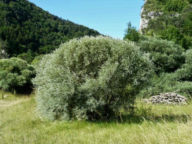 Salix rosmarinifolia - saule à feuilles de romarin Lus_la20