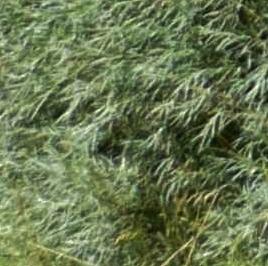 Salix rosmarinifolia - saule à feuilles de romarin Lus_la21