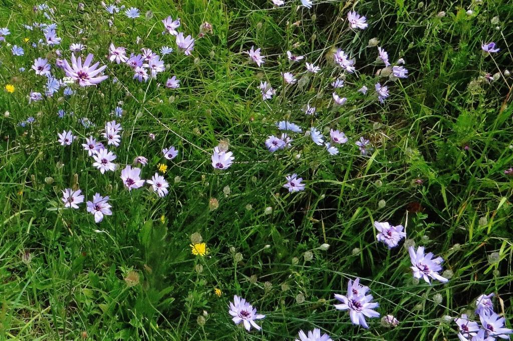 Catananche caerulea - catananche bleue  - Page 2 Lus_la23