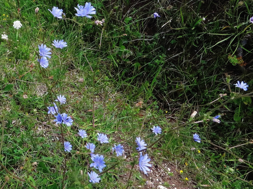 Catananche caerulea - catananche bleue  - Page 2 Lus_la30