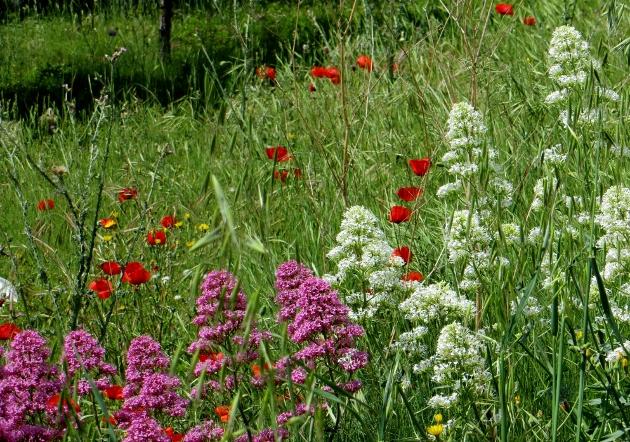 Centranthus ruber - centhranthe rouge Mai_2014