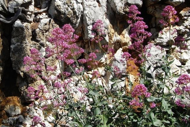 Centranthus ruber - centhranthe rouge Mai_2015
