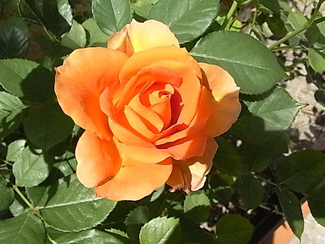 tous ces rosiers que l'on aime - floraisons - Page 7 Mai_2025