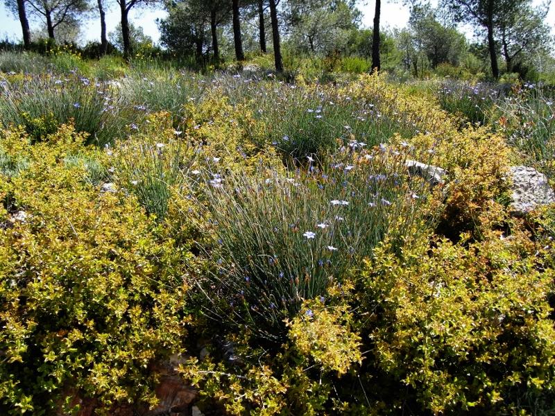 Aphyllanthe monspeliensis Mai_2032