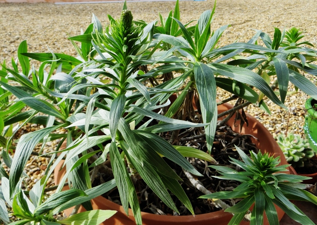 Echium candicans - vipérine de Madère Mars_210