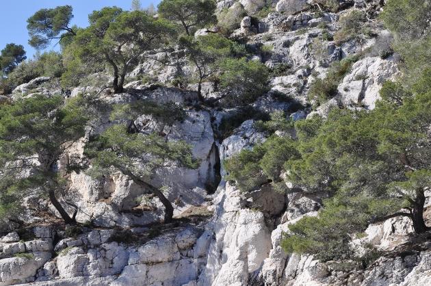 Pinus halepensis - pin d'Alep Mars_211