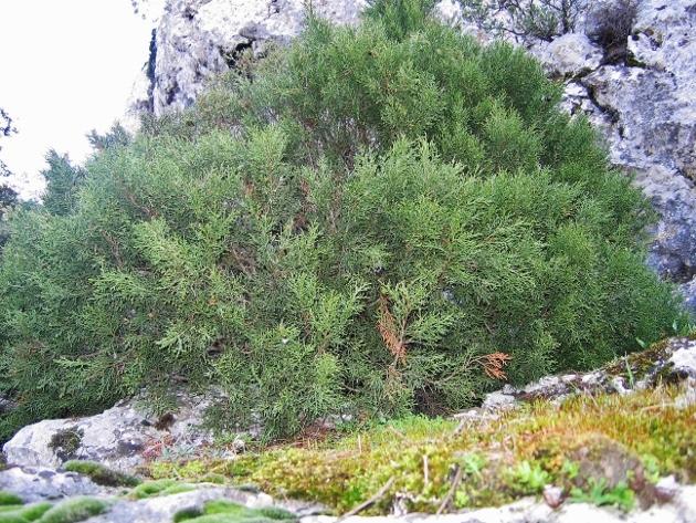 Juniperus phoenicea - genévrier de Phénicie Nature14