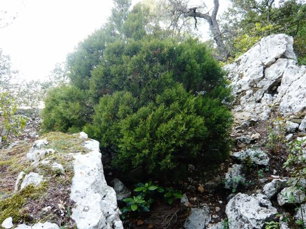 Juniperus phoenicea - genévrier de Phénicie Novemb15