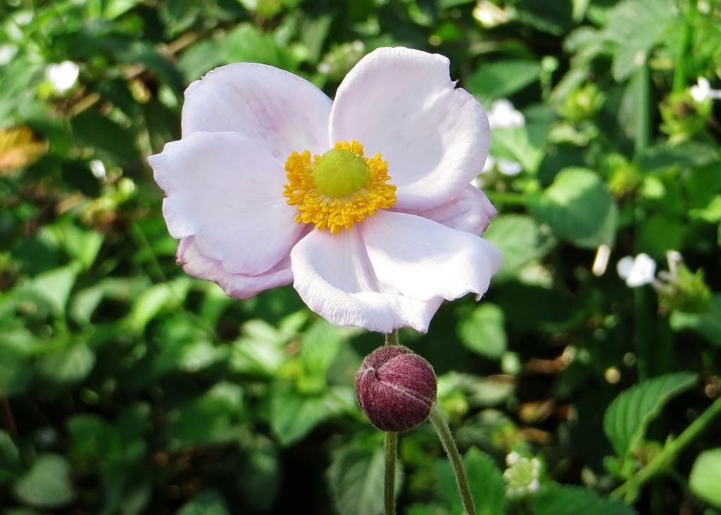 Anemone hupehensis - anémone de Chine ; Anemone hupehensis var. japonica - anémone du Japon - Page 2 Octobr14