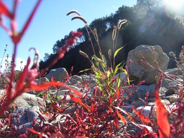 Reynoutria japonica = Fallopia - renouée du Japon - Page 2 Octobr19