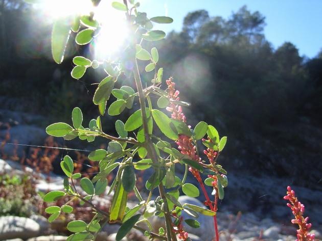 Reynoutria japonica = Fallopia - renouée du Japon - Page 2 Octobr20