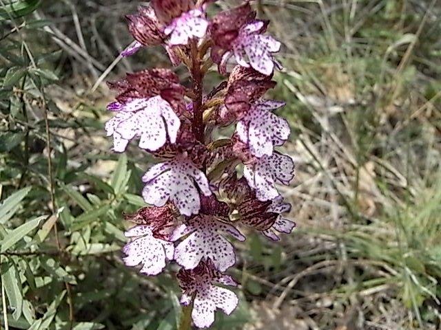Neotinea ustulata - orchis brûlé Orchis13