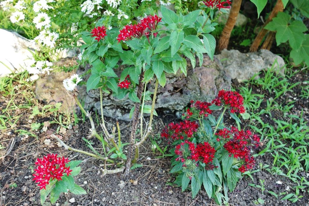 Pentas lanceolata - Identification plante aux fleurs rouges Patens13