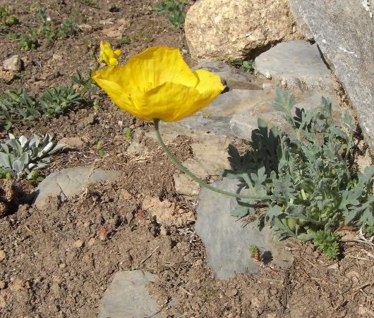Papaver alpinum - pavot des Alpes Pavot_10