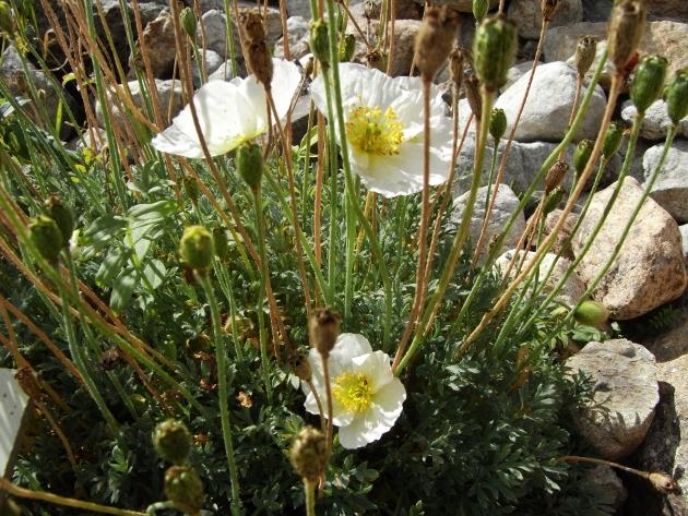 Papaver alpinum - pavot des Alpes Pavot_11