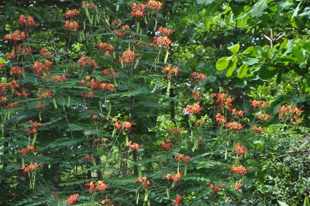 Caesalpinia gilliesii (= Poinciana gilliesii) - petit flamboyant - Page 2 Petit_10
