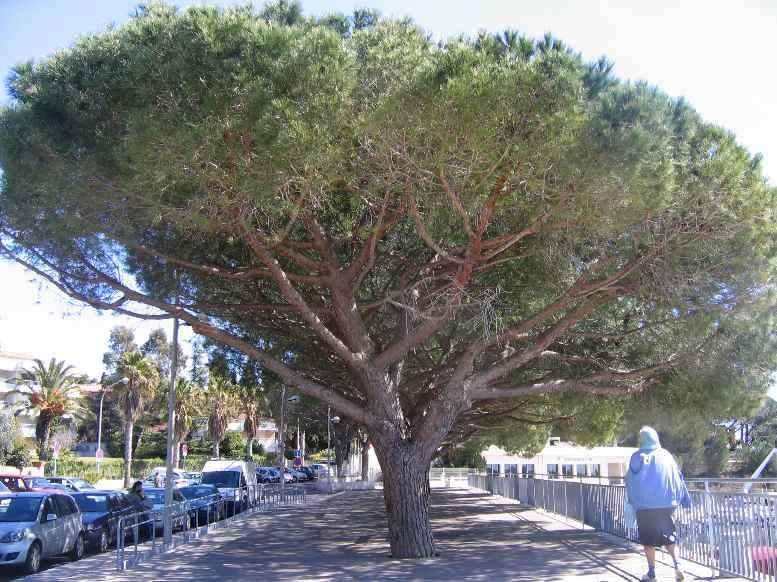 Pinus pinea - pin parasol - Page 3 Printe10