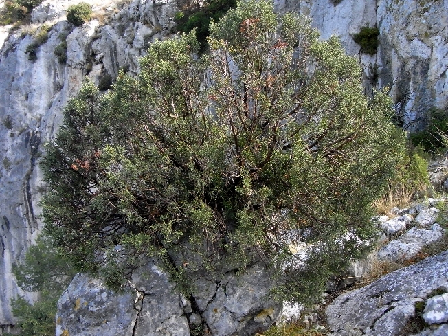 Juniperus phoenicea - genévrier de Phénicie Promen10
