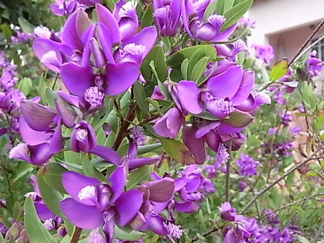 Polygala myrtifolia Rimg0211
