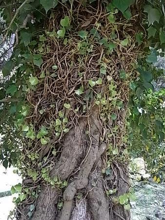 Hedera - lierre - espèces, hybrides horticoles - Page 4 Rimg0410